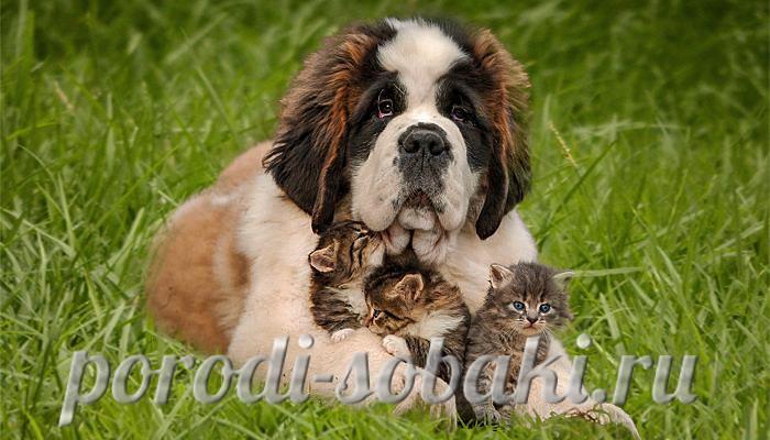 Сенбернар с котятами