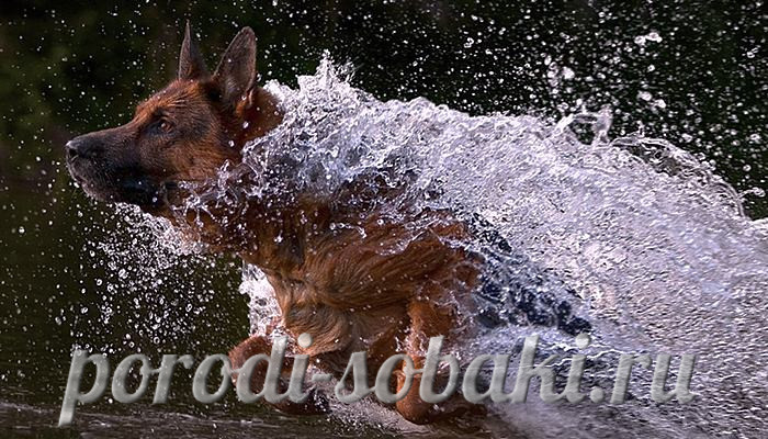 Овчарка в воде