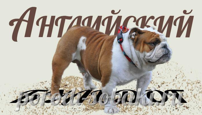 Собака английский бульдог
