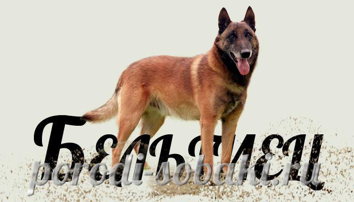 Собака Бельгийская овчарка
