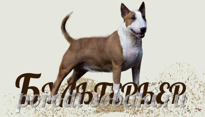 Собака породы Бкльтерьер