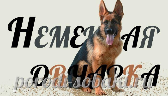 Собака Немецкая овчарка