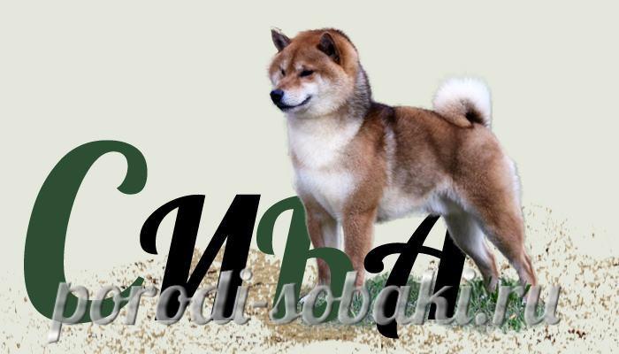 Собака Сиба ину