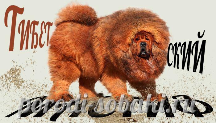Собака Тибетский мастиф