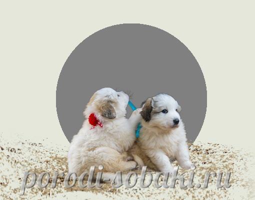 Щенки пиренейской собаки