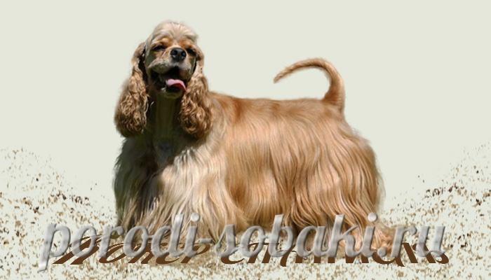 Собака американский кокер спаниель
