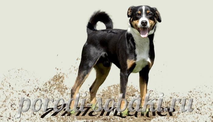 Собака аппенцеллер зенненхунд
