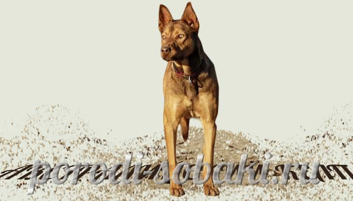 Собака австралийский келпи