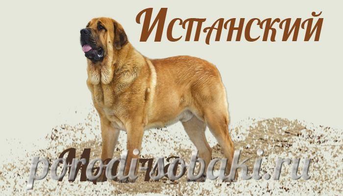 Собака испанский мастиф