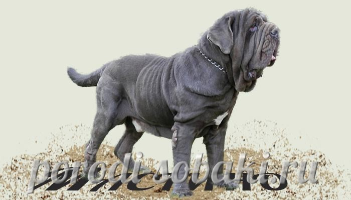 Собака неаполитанский мастиф