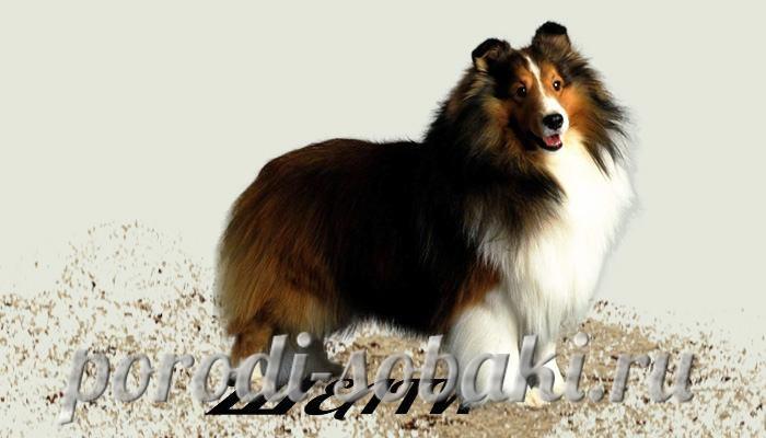 Собака шелти