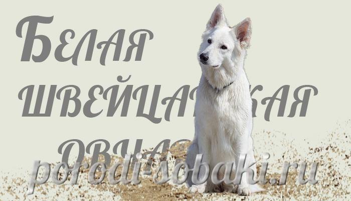 Собака белая швейцарская овчарка