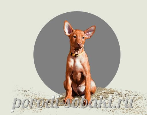 Щенок фараоновой собаки