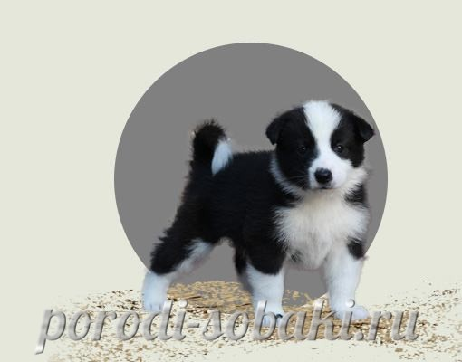 Щенок карельской медвежьей собаки