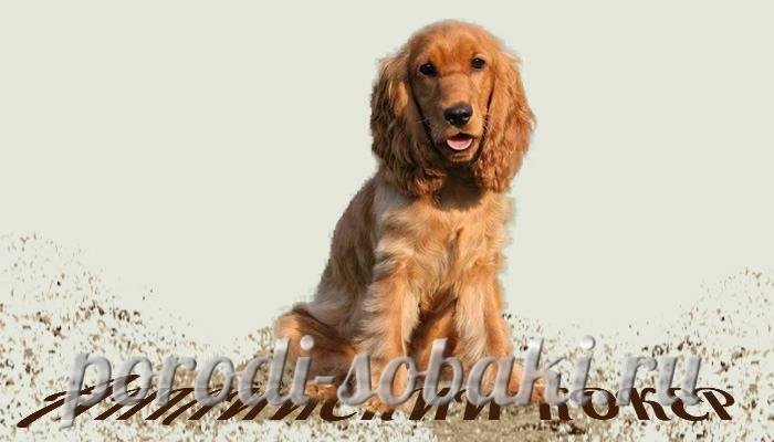 Собака английский кокер спаниель