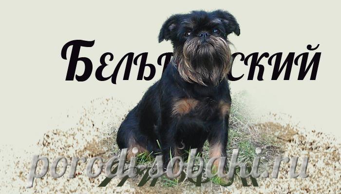 Собака бельгийский гриффон