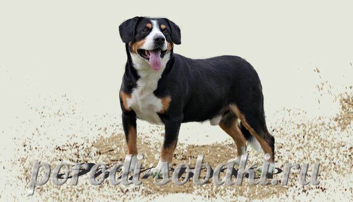 Собака Энтлебухер зенненхунд