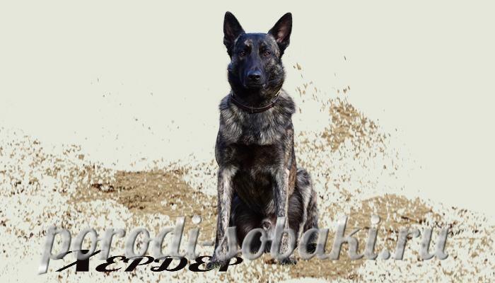 Собака голландская овчарка