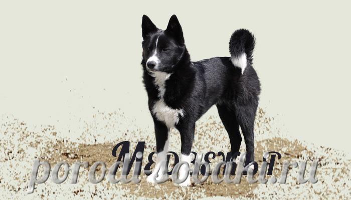 Порода карельская медвежья собака