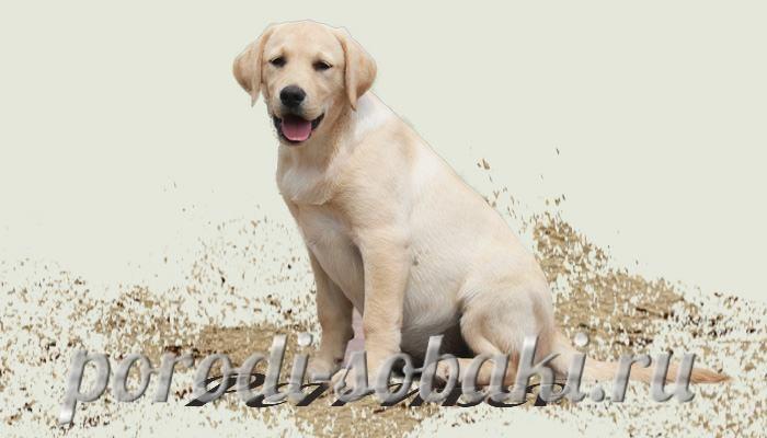 Собака лабрадор ретривер