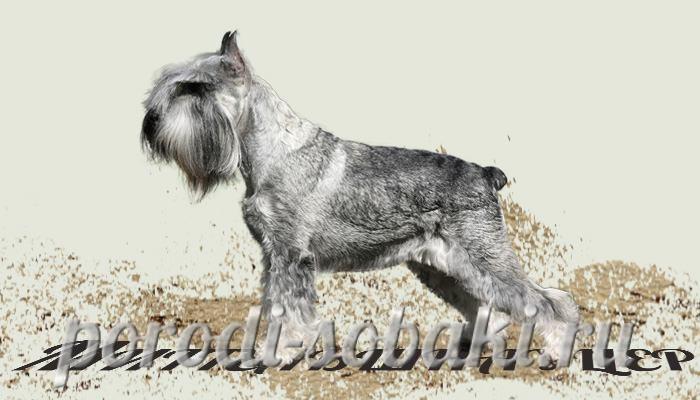 Собака миттельшнауцер