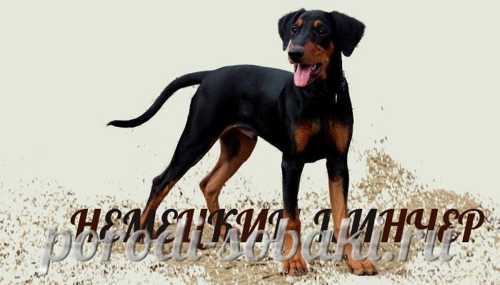 Собака немецкий пинчер