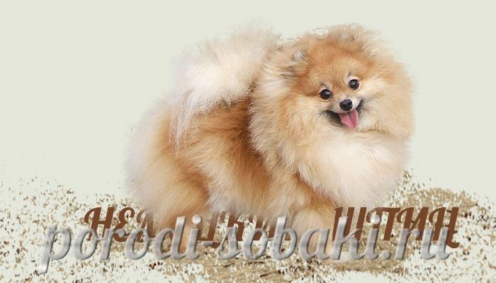 Собака немецкий шпиц