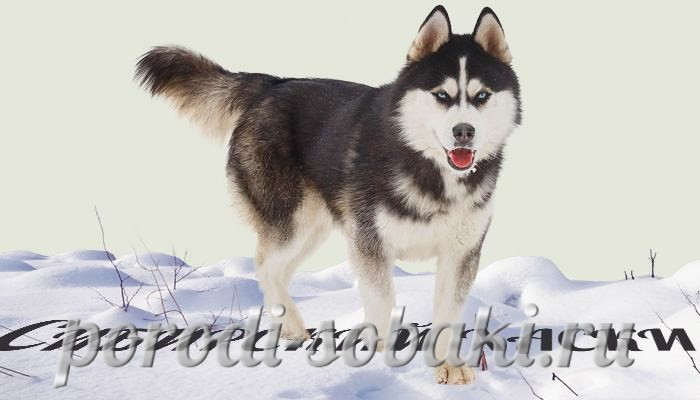 Собака сибирский хаски